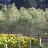 grapes & olives