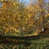 paper birch gully