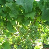 Pinot Gris in early summer